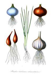 Vintage onions
