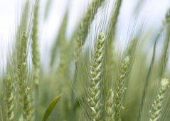 Winter Wheat Benjamin Brink Oregonian